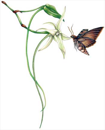 Irreducible match of orchid and moth?