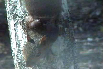 Botfly aka Wolf Worm