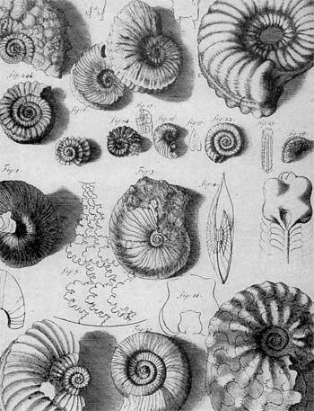17th century ammonoid fossils