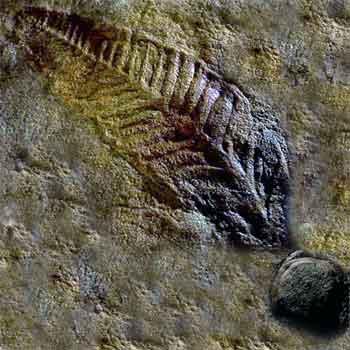 Ediacaran Fossil