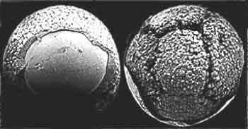 Fossil Embryo